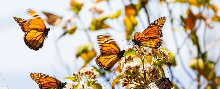 бабочки-монархи