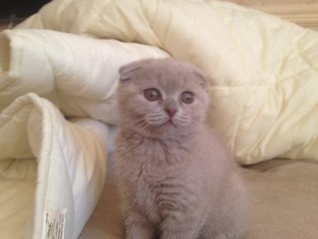 Шотландская вислоухая кошка Scottish Fold. Характер и уход за ней